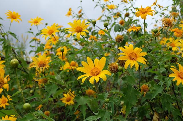 Hình ảnh hoa Dã Quỳ đẹp 8