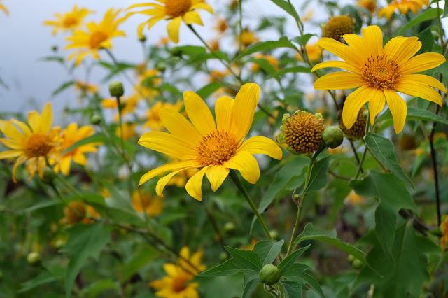 Hình ảnh hoa Dã Quỳ đẹp 9