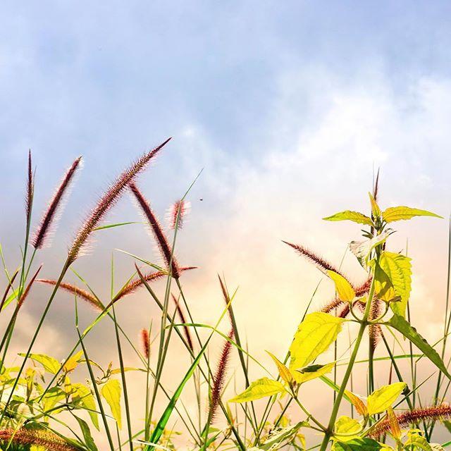Hình ảnh đẹp về hoa cỏ may 12