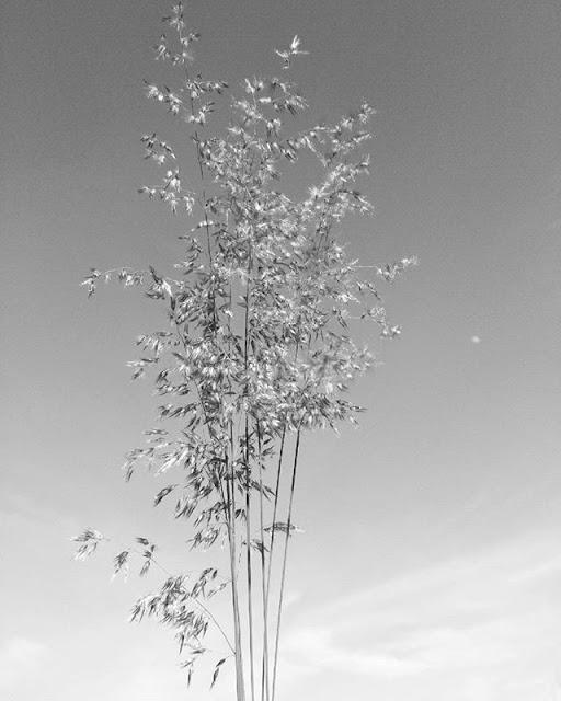 Hình ảnh đẹp về hoa cỏ may 13