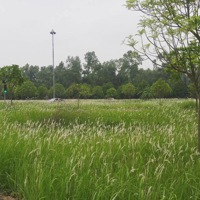 Hình ảnh đẹp về hoa cỏ may 4