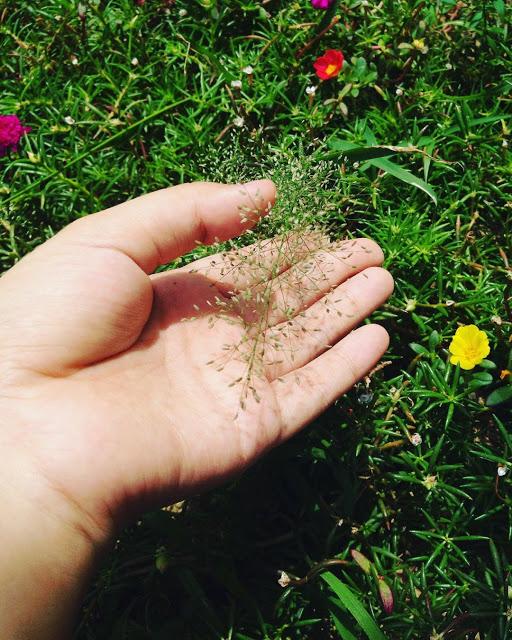 Hình ảnh đẹp về hoa cỏ may 6