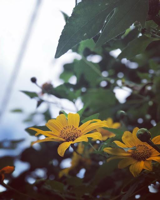 Hình ảnh hoa Dã Quỳ đẹp 23