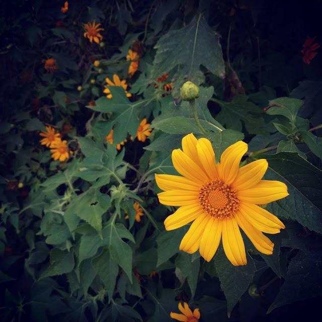 Hình ảnh hoa Dã Quỳ đẹp 24