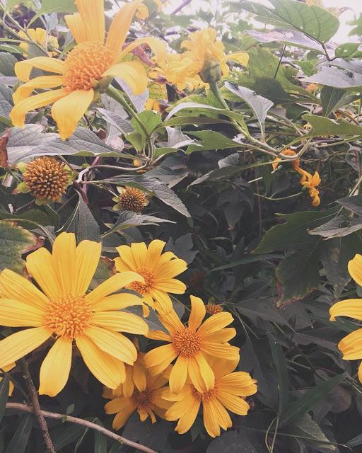 Hình ảnh hoa Dã Quỳ đẹp 25