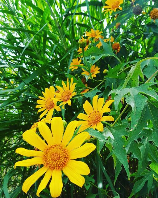 Hình ảnh hoa Dã Quỳ đẹp 26