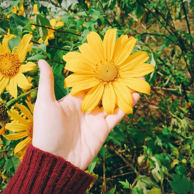 Hình ảnh hoa Dã Quỳ đẹp 28