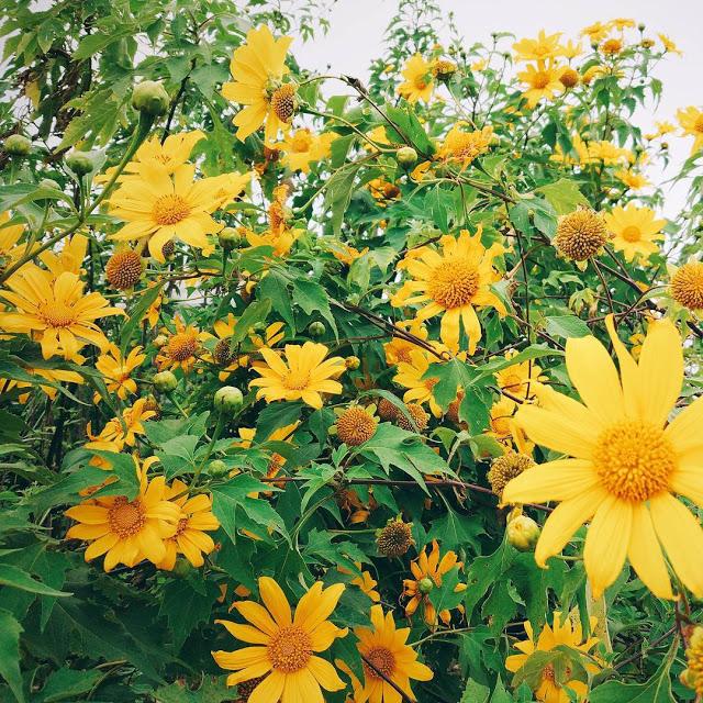 Hình ảnh hoa Dã Quỳ đẹp 29