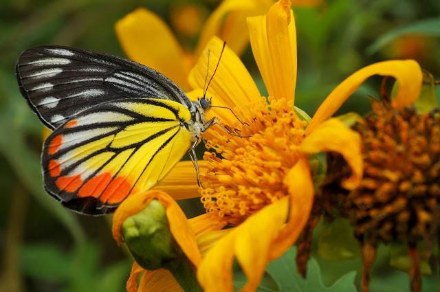 Hình ảnh hoa Dã Quỳ đẹp 30