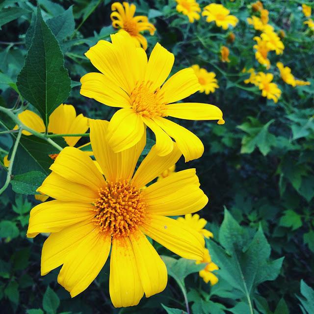 Hình ảnh hoa Dã Quỳ đẹp 31