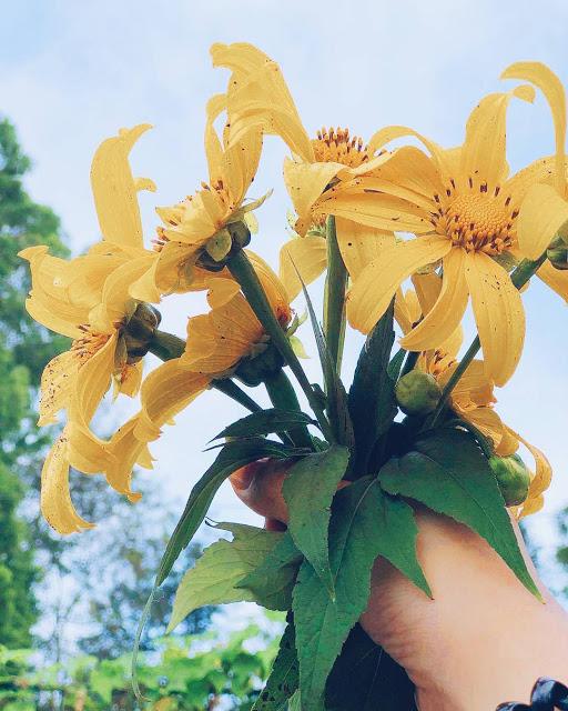 Hình ảnh hoa Dã Quỳ đẹp 1