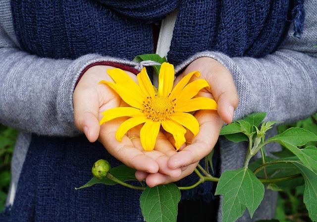 Hình ảnh hoa Dã Quỳ đẹp 13
