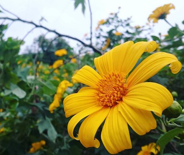 Hình ảnh hoa Dã Quỳ đẹp 14