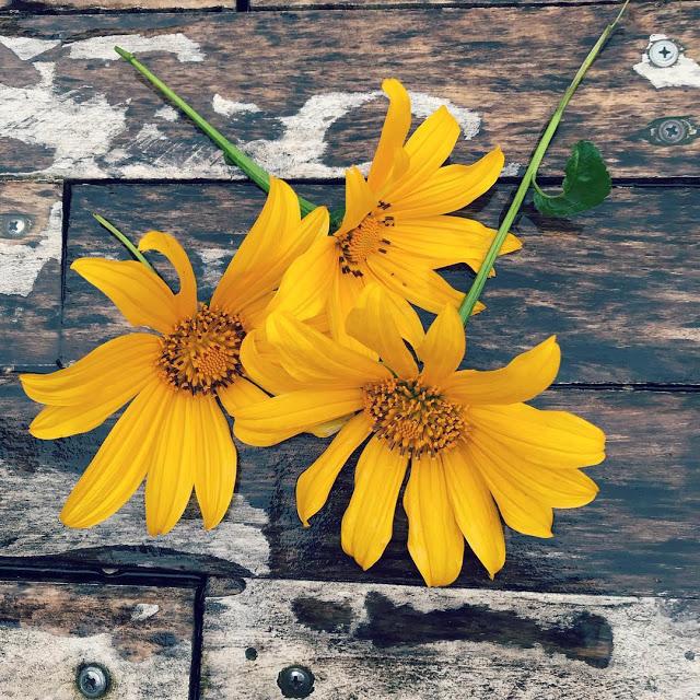 Hình ảnh hoa Dã Quỳ đẹp 3