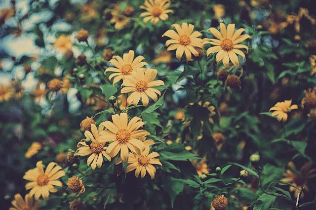 Hình ảnh hoa Dã Quỳ đẹp 10