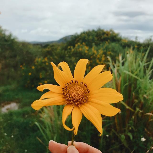 Hình ảnh hoa Dã Quỳ đẹp 16
