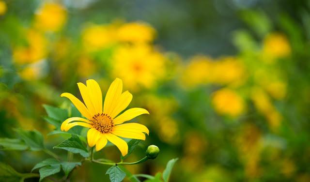 Hình ảnh hoa Dã Quỳ đẹp 12