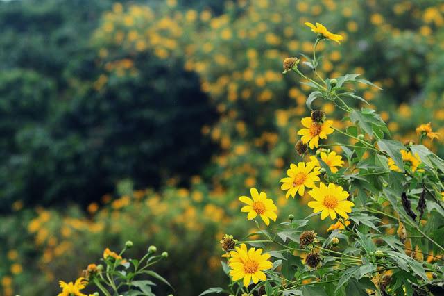 Hình ảnh hoa Dã Quỳ đẹp 19