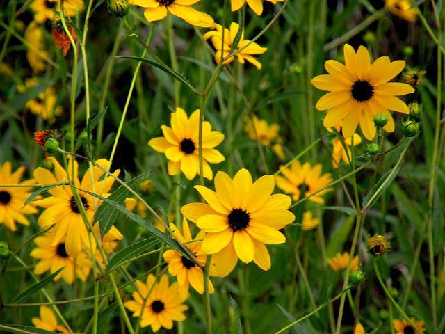 Hình ảnh hoa Dã Quỳ đẹp 20